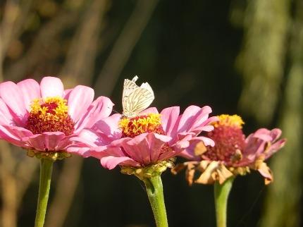 Las zinnias recibiendo a las mariposas en otoño